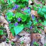 Violets at South Lakes Drive Park in Reston, VA