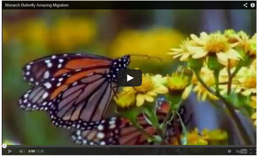Monarch migration video preview